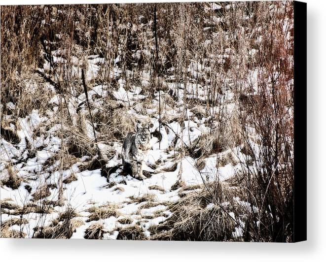 Bobcat Canvas Print featuring the photograph Bobcat Winter by Britt Runyon