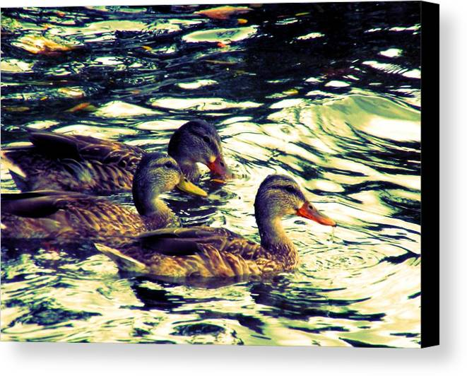 Duck Duck Duck Canvas Print featuring the photograph Duck Duck Duck by Beth Akerman
