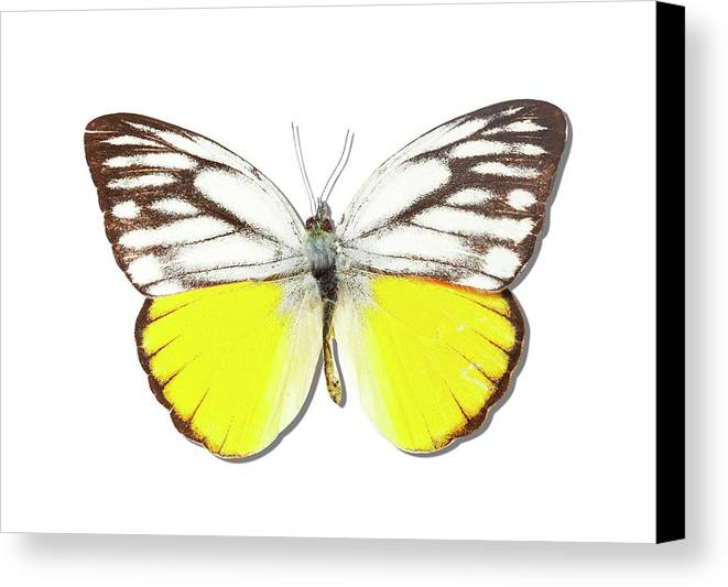 Horizontal Canvas Print featuring the photograph White Butterfly Of Indonesia by MajchrzakMorel
