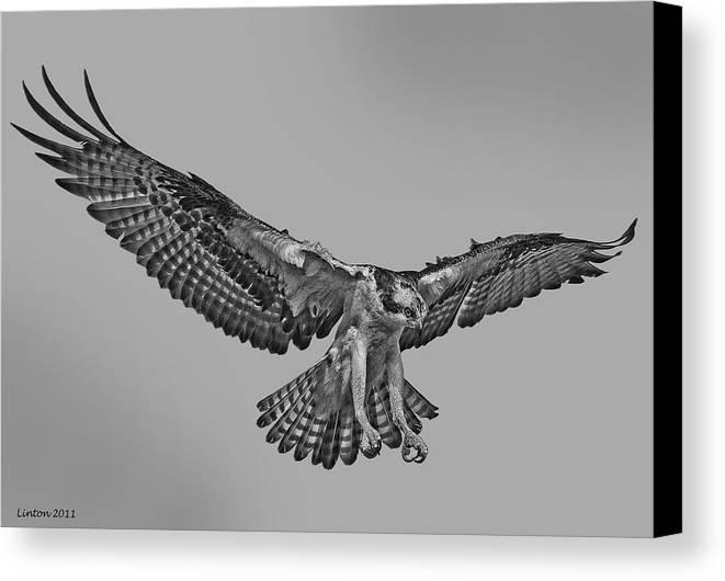 Osprey Canvas Print featuring the digital art Osprey Flight by Larry Linton
