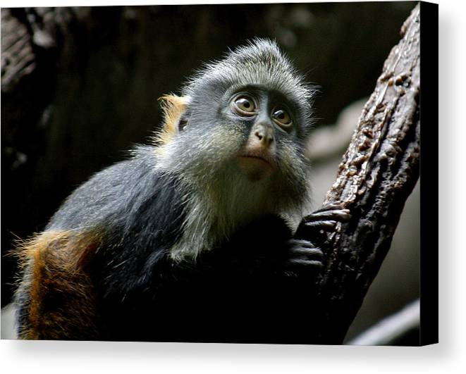 Monkey Canvas Print featuring the photograph Baby Of The Family by Jason Hochman