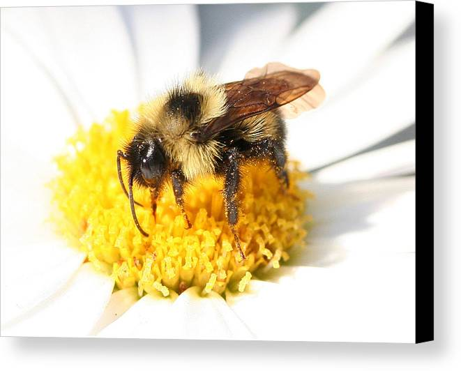 Bumble Bee Canvas Print featuring the photograph Buzz by Jason Hochman