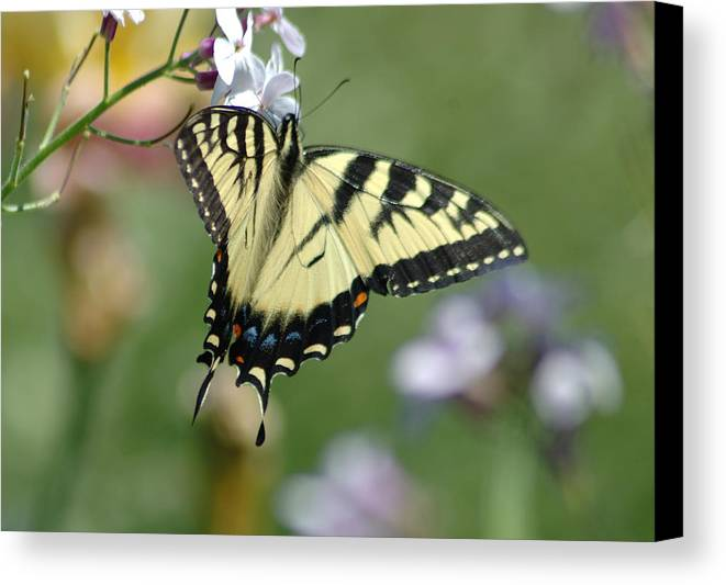 Butterfly Canvas Print featuring the photograph Delicate Balance by Linda Murphy