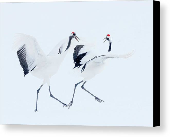 Red-crowned Cranes Canvas Print featuring the photograph The Chase by Cheryl J Schneider