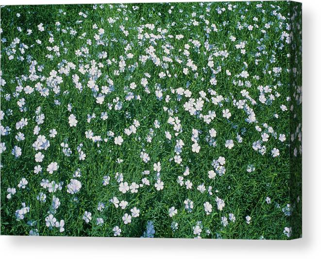 Flax Canvas Print featuring the photograph Field Of Flax (linum Usitatissimum) by Dr Jeremy Burgess/science Photo Library