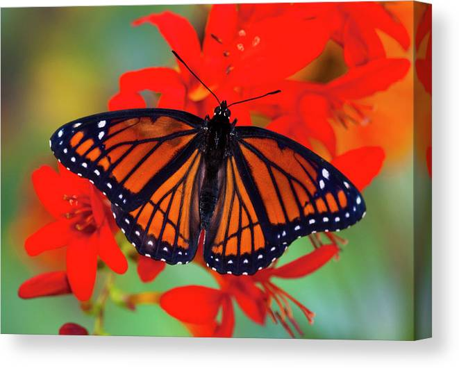 5138002c6e28a Black Canvas Print featuring the photograph Viceroy Butterfly A Mimic by  Darrell Gulin