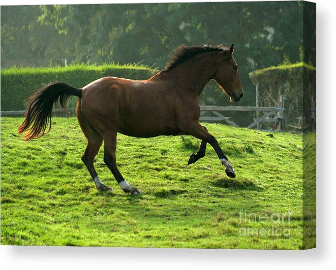 Horse Canvas Print featuring the photograph Bay Horse by Angel Ciesniarska