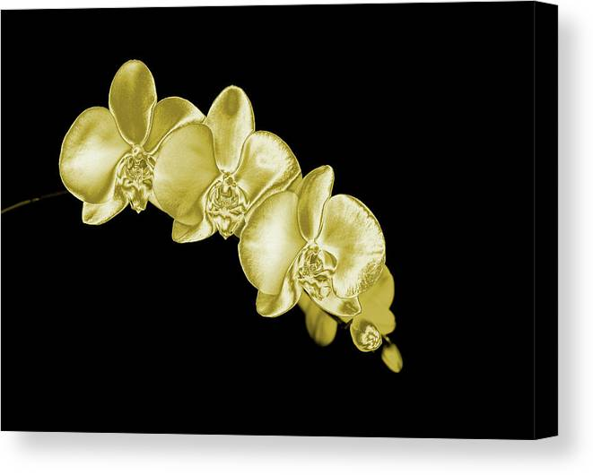Black Background Canvas Print featuring the photograph Gold Phaelenopsis Orchid On A Black by Mike Hill