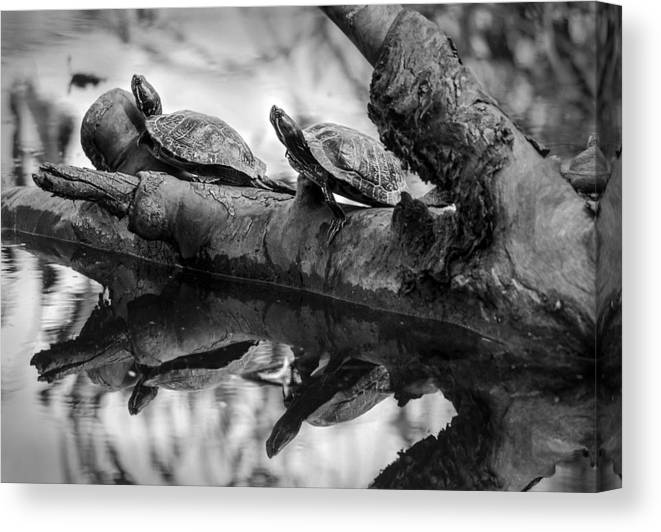 Turtles Canvas Print featuring the photograph Turtle Bffs Bw By Denise Dube by Denise Dube