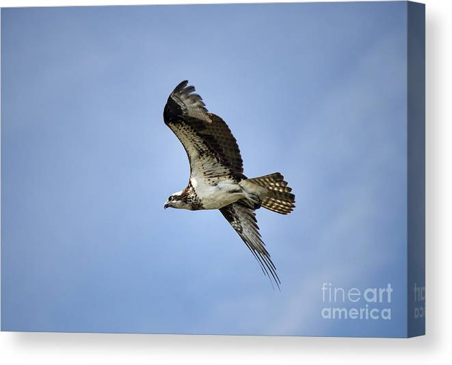 Delaware Canvas Print featuring the photograph Osprey In Flight by John Greim