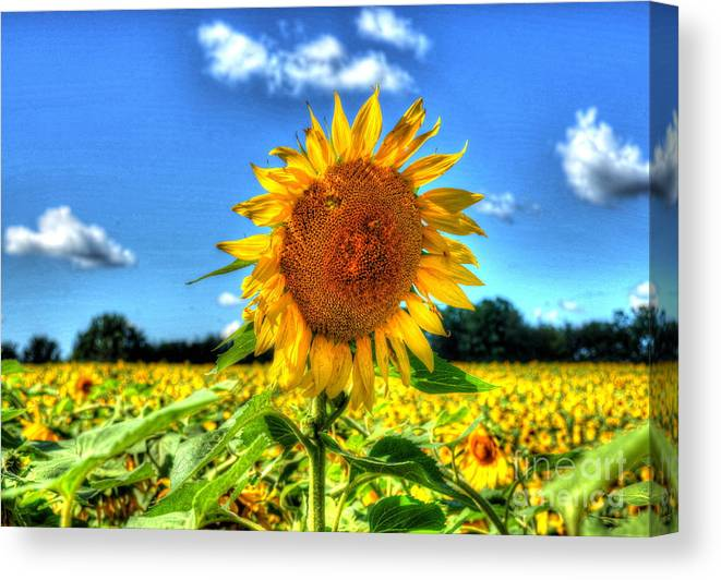 Sunflower Canvas Print featuring the photograph Single by Debbi Granruth