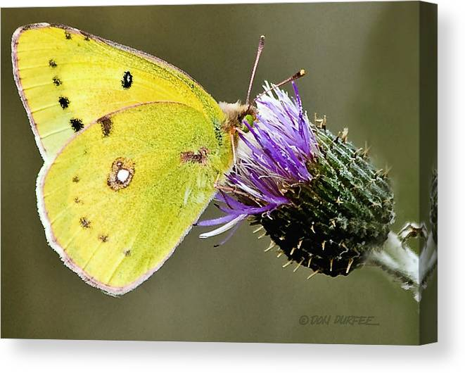 Butterfly Canvas Print featuring the photograph Little Yellow On Bullthistle by Don Durfee