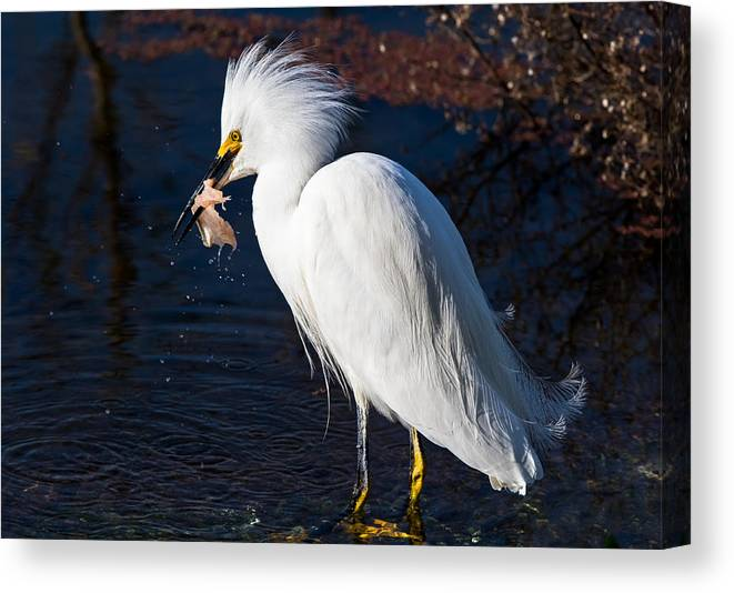 California Canvas Print featuring the photograph Snowy Egret Eating Fish by Marc Crumpler