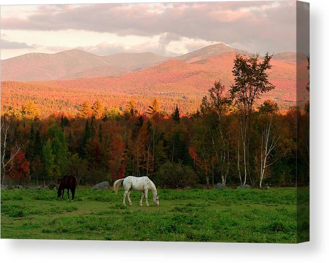 Horse Canvas Print featuring the photograph Horses Grazing During The New England by Myloupe/uig