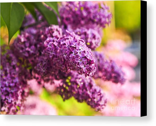 Lilac Canvas Print featuring the photograph Lilacs by Elena Elisseeva