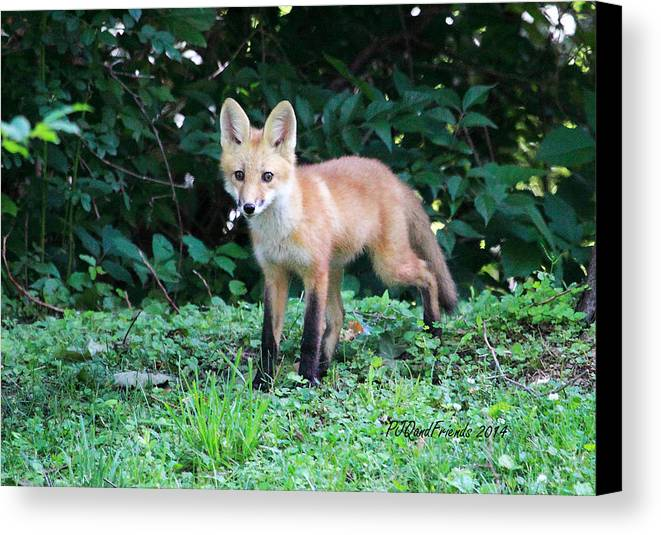 Red Fox Kit Canvas Print featuring the photograph Red Fox Kit by PJQandFriends Photography
