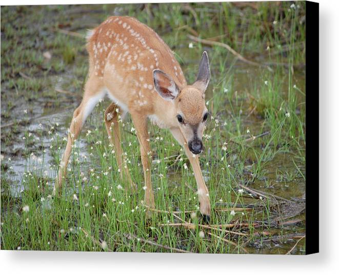 Key Deer Canvas Print featuring the photograph Key Deer Fawn by Mitchell Rudin