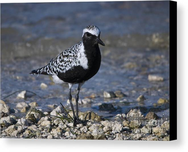 Black-bellied Plover Canvas Print featuring the photograph Black-bellied Plover No.2 by John Greco