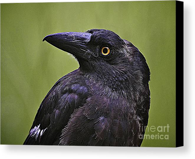 Currawong Canvas Print featuring the photograph Currawong by Heng Tan