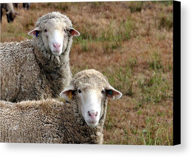 Sheep Canvas Print featuring the photograph Double Beauty by Kim Clark