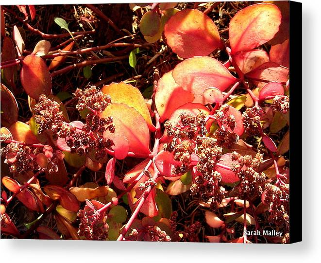 Garden Plant Canvas Print featuring the photograph Glow On Sedum by Sarah Malley