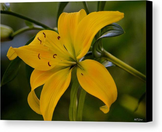Golden Lily Sway Canvas Print featuring the photograph Golden Lily Sway 2013 by Maria Urso