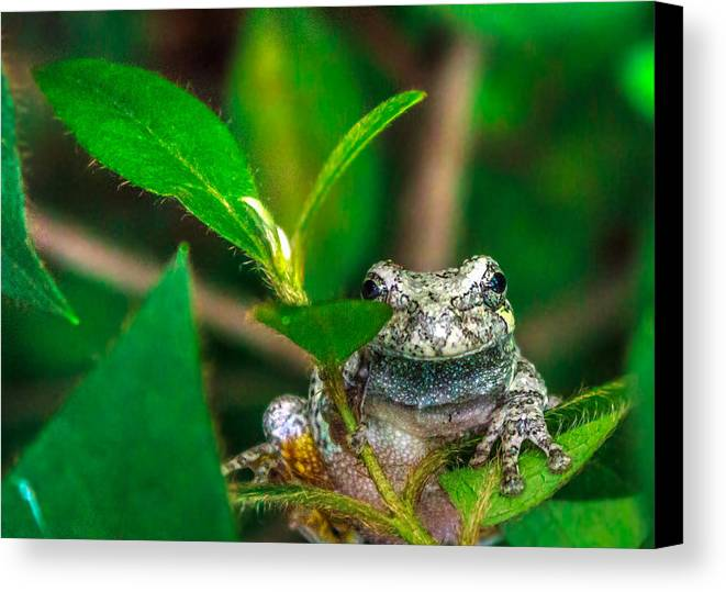 Frog Canvas Print featuring the photograph Hyla Versicolor by Rob Sellers