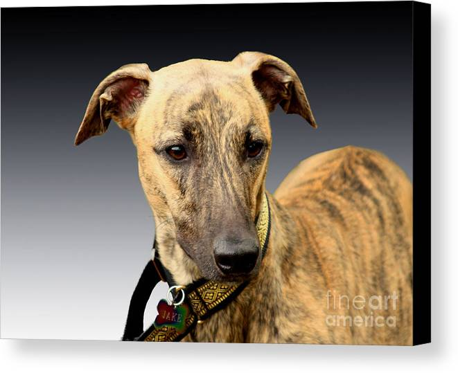 Brindle Canvas Print featuring the photograph Jake by Linsey Williams