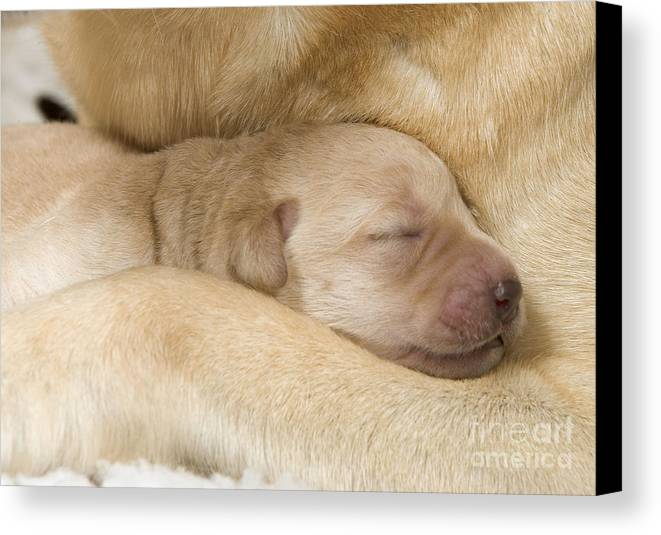 Labrador Retriever Canvas Print featuring the photograph Labrador Puppy On Mother by Jean-Michel Labat