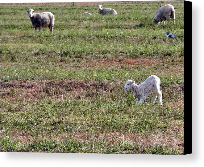 Sheep Canvas Print featuring the photograph Learning Lamb by Kim Clark