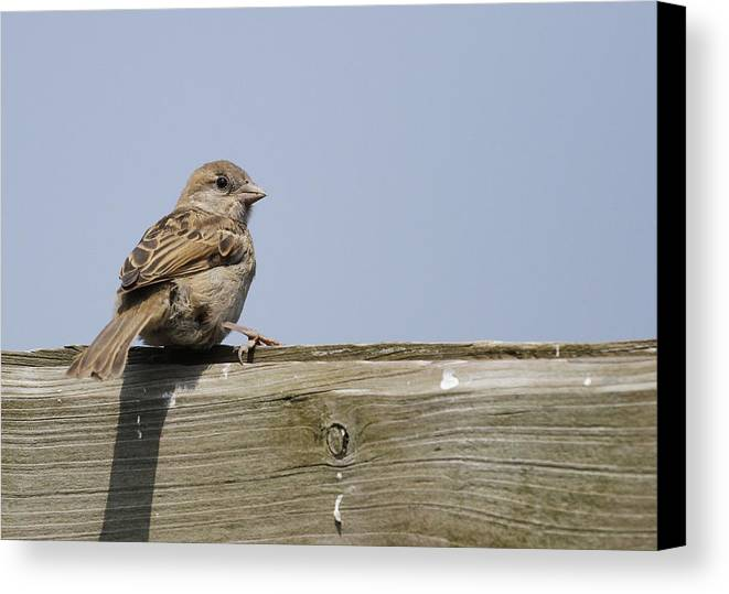 Sparrow Canvas Print featuring the photograph Lonely Sparrow by Simon Gregory