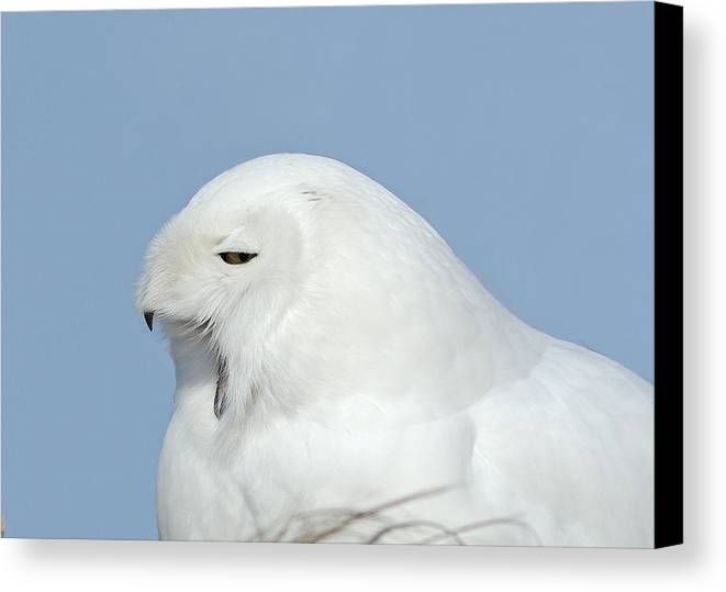 Snowy Owl Bird Of Prey Wildlife Owl Close Up Canvas Print featuring the photograph Male Snowy Owl by David Gardner