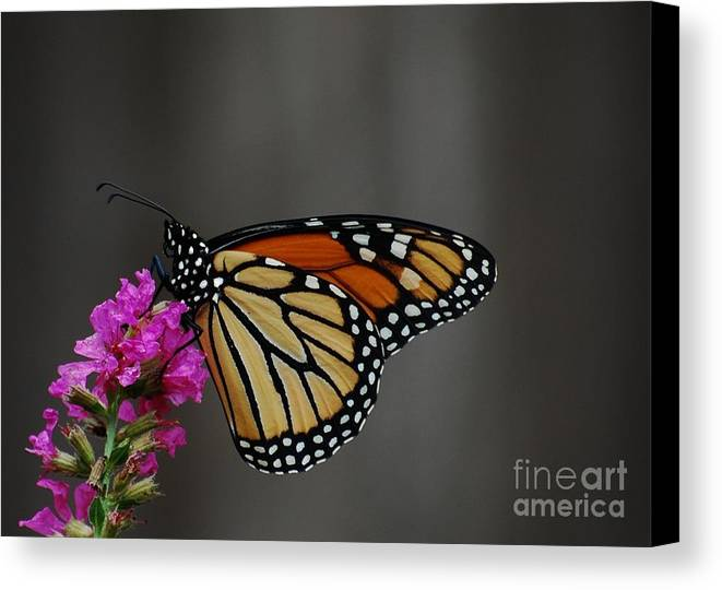 Monarch Canvas Print featuring the photograph Monarch Butterfly 2 by Joy Bradley