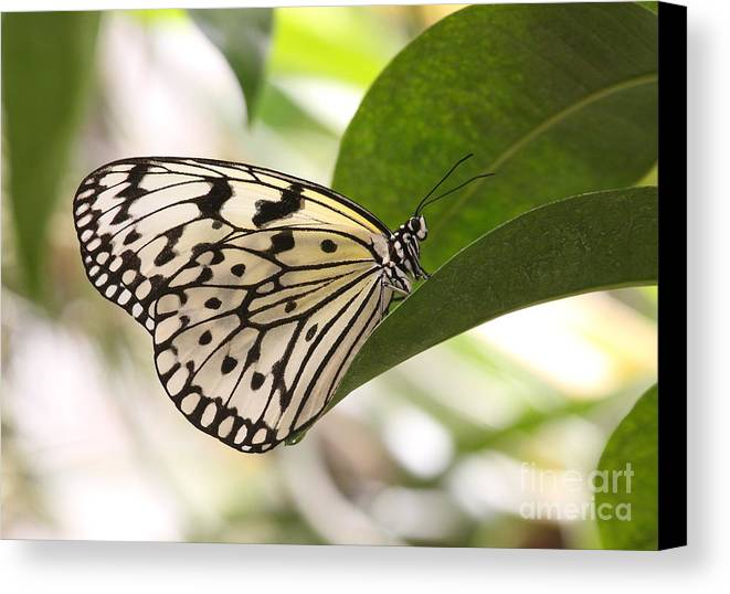 Butterfly Canvas Print featuring the photograph Paper Kite On A Leaf by Ruth Jolly