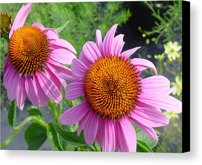 Flower Canvas Print featuring the photograph Purple Coneflowers by Suzanne Gaff