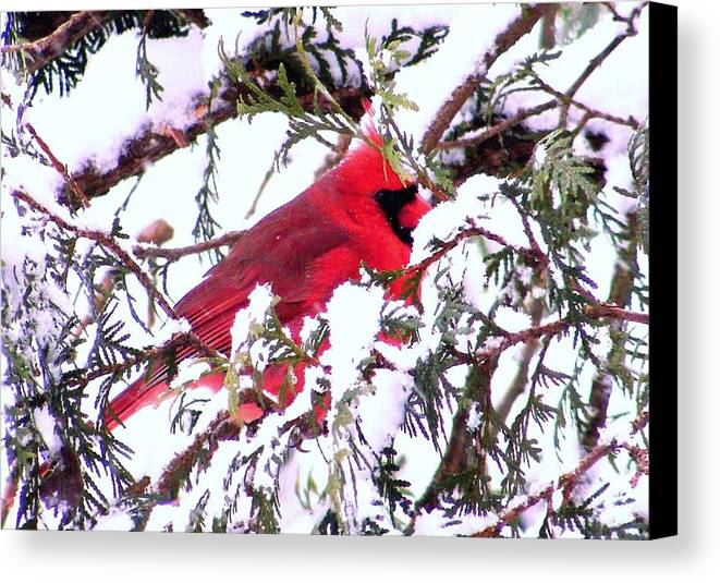 Cardinal Canvas Print featuring the photograph Snow Cardinal by William Fox