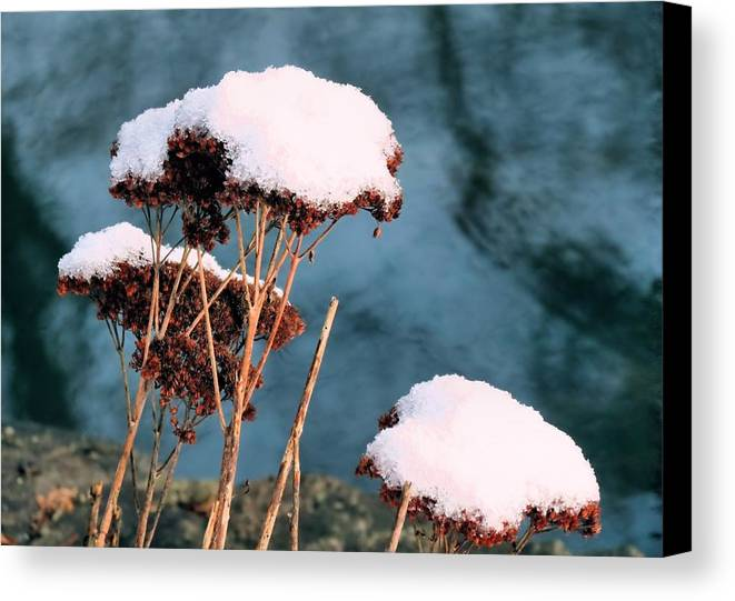 Flowers Canvas Print featuring the photograph Snowcapped by Janice Drew