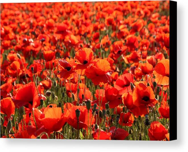 Gifts From The Camera Canvas Print featuring the photograph Sun Poppies by Ed Lukas