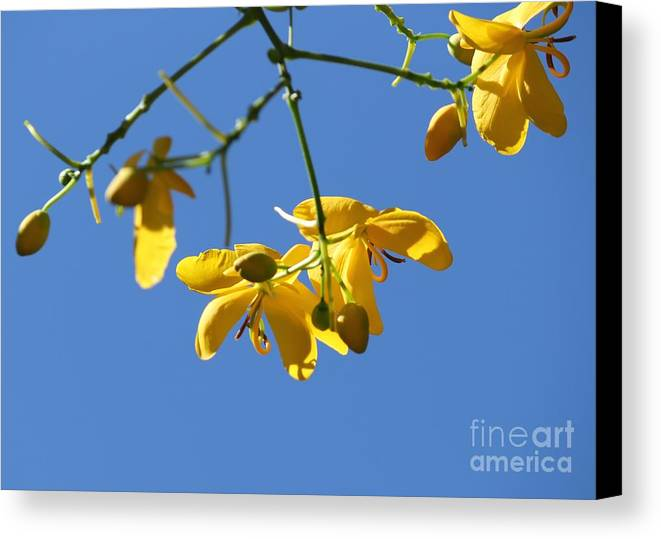 Cassia Canvas Print featuring the photograph Yellow And Blue by Theresa Willingham