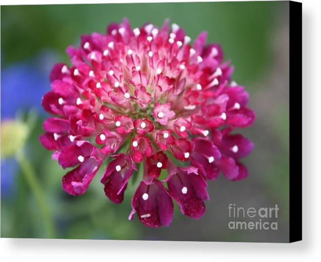 Flower Canvas Print featuring the photograph Charlottenburg Palace Beauty by Carol Groenen