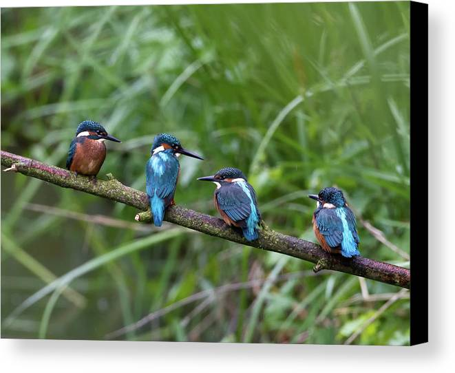 Horizontal Canvas Print featuring the photograph Four Kingfishers On Branch by Produced by Oliver C Wright