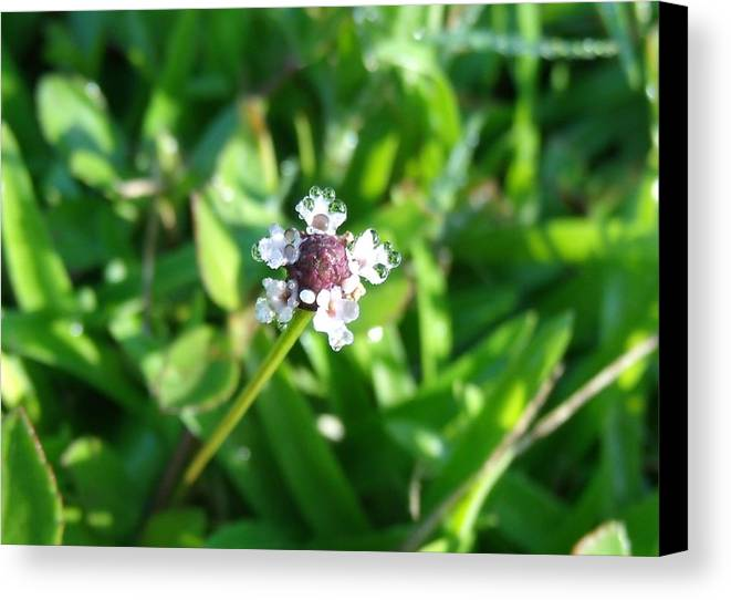 Flowers Canvas Print featuring the photograph Frogfruit by Crystal Williams