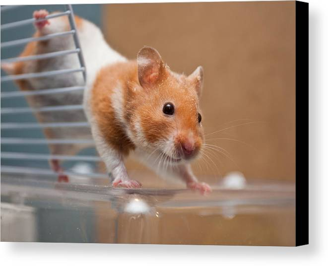 Animal Canvas Print featuring the photograph Hamster by Tom Gowanlock