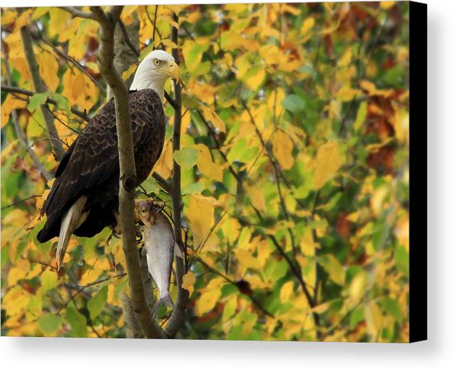 Bald Eagle Canvas Print featuring the photograph Hang Around For Dinner by Lori Deiter