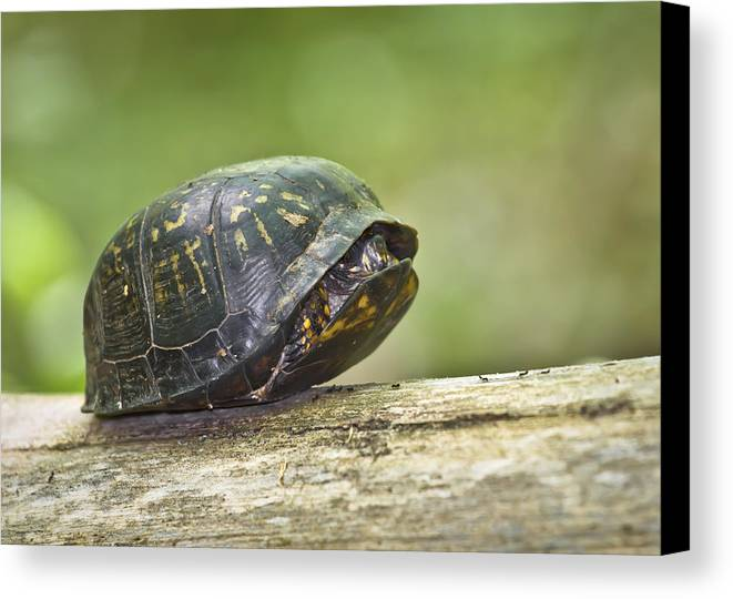 Chelonians Canvas Print featuring the photograph Hiding In Shell by Patrick M Lynch