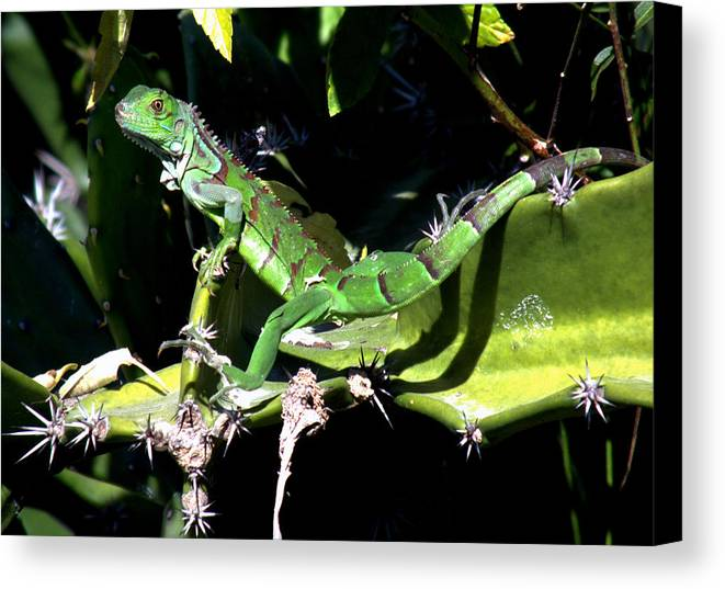 Lizards Canvas Print featuring the photograph Leapin Lizards by Karen Wiles