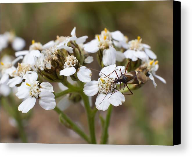 Bug Canvas Print featuring the photograph Milkweed Bug Macro by Andreas Hohl