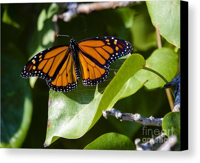 Butterfly Canvas Print featuring the photograph Monarch by Nicole Cloutier Photographie Evolution Photography