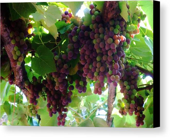 Wine Canvas Print featuring the photograph New Wine by Alison Richardson-Douglas