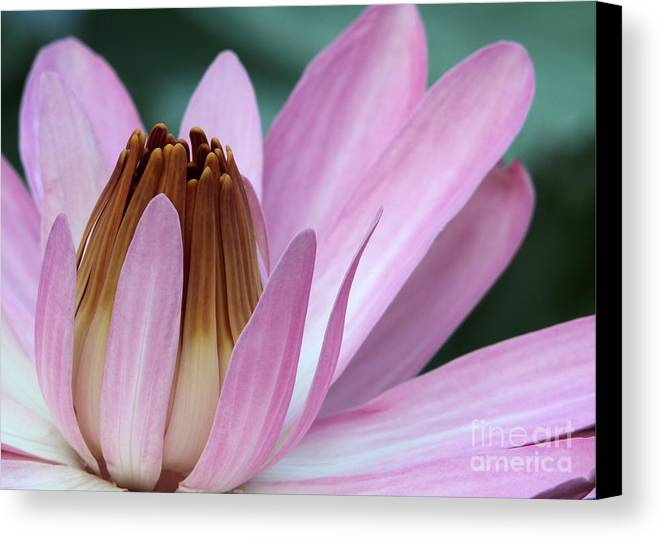 Lotus Canvas Print featuring the photograph Pink Water Lily Macro by Sabrina L Ryan